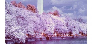 DC PHOTO BOOK:  Tidal Basin Blossoms