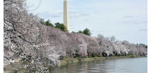 DC PhOTO BOOK:  Cherry Blossoms Bloom!